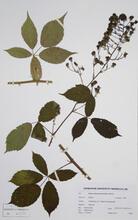 herbarium-rubus-autrotir