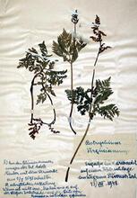 herbarium-botrychium-vir