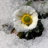 Due to the short vegetation period in the mountains, the glacier buttercup (Ranunculus glacialis) flowers as soon as the snow melts.