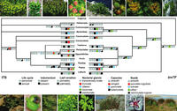 Phylogenetic relationships among different groups of Euphorbia and evolution of morphological characters in this genus.