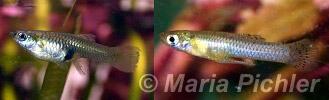 Mosquito fish, Gambusia affinis