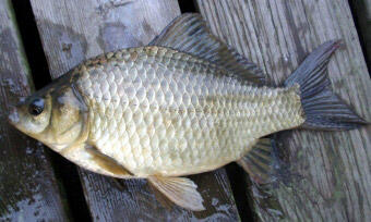 Gynogenetic Prussian carp (photo: Jussi Pennanen)