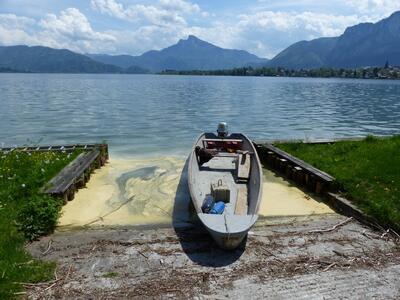 Pollenteppich am Mondsee-2015-ILIM