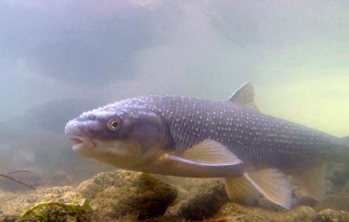 Perlfisch