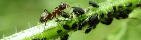 Ameisen-en