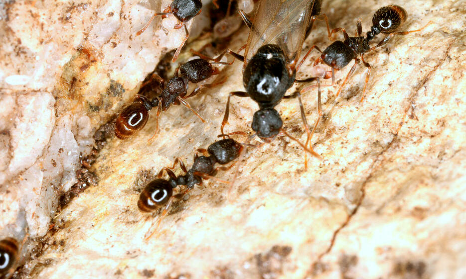 The mountain ant T. alpestre