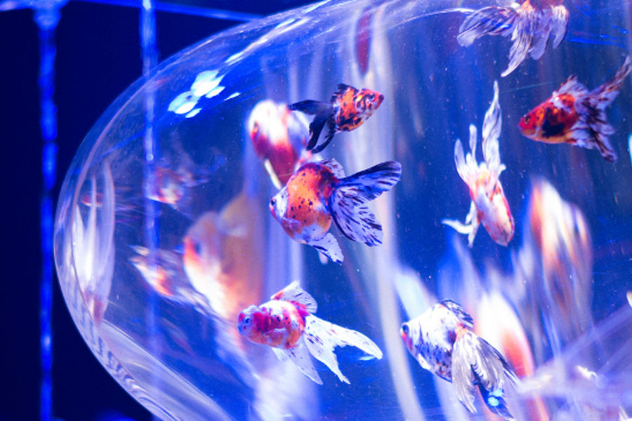Art Aquarium / アートアクアリウム 2014 #02 by Taichiro Ueki/flickr